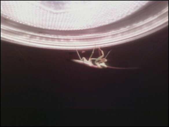 Mantis 4